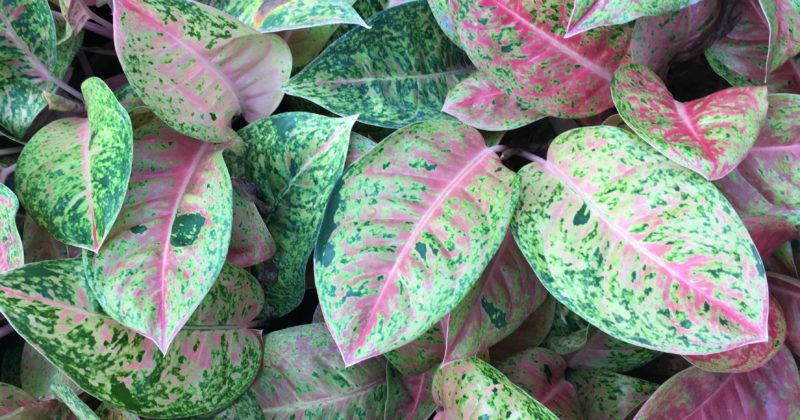 Let's Talk Aglaonema