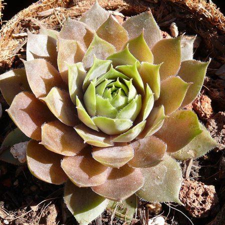 Sempervivum Desert Bloom