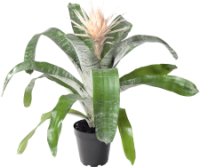 batch_Aechmea Prontoo