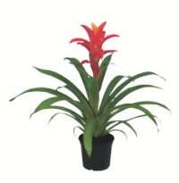 batch_Guzmania 'Jazz' [P]