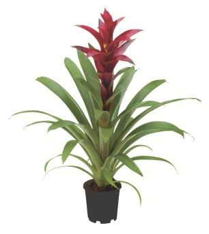 batch_Guzmania 'Switch' [P]