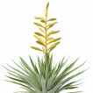 batch_Tillandsia oerstediana
