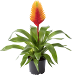 batch_Vriesea Pluma-130142
