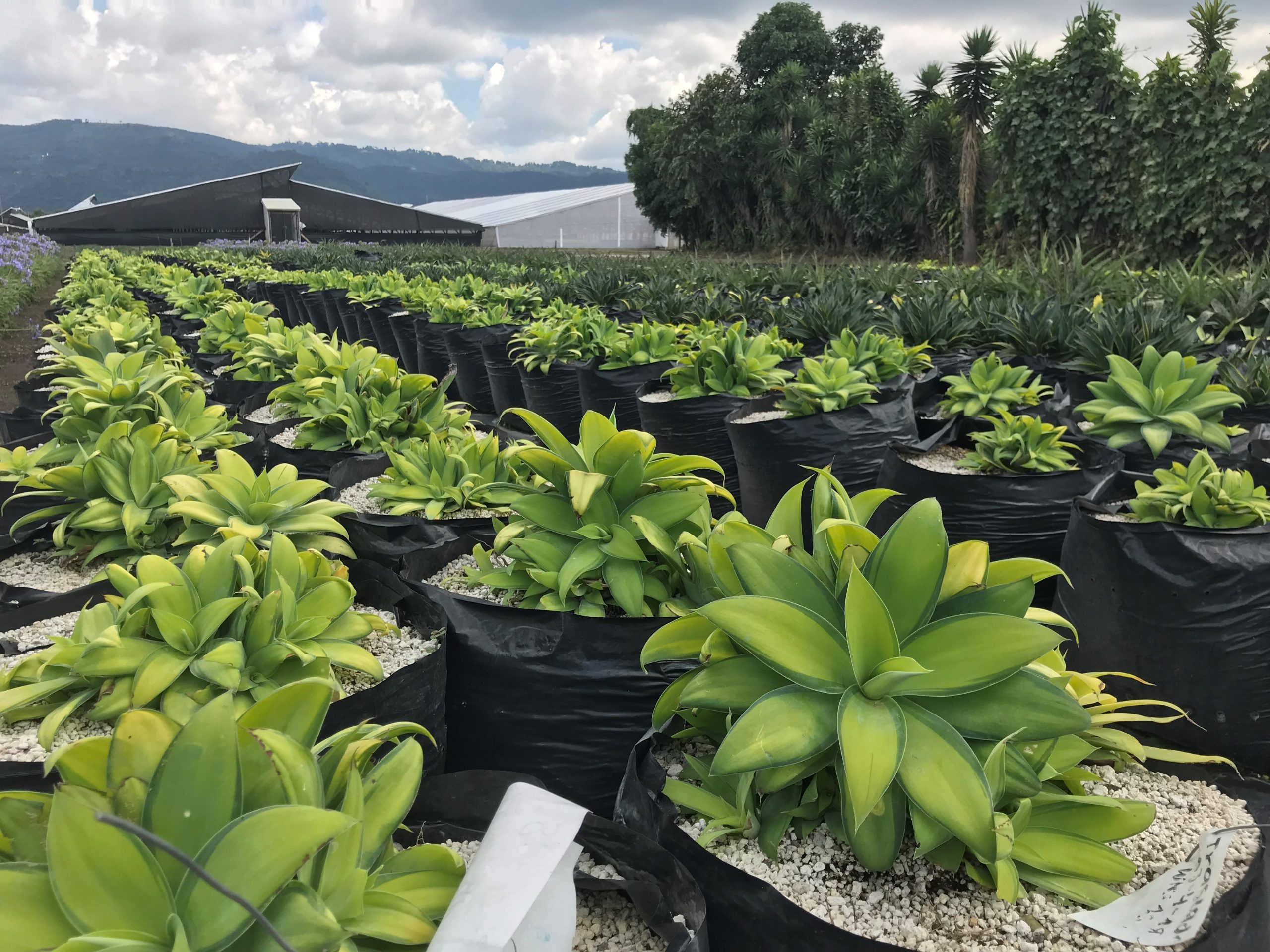 Growing ornamental plants at the crossroads of world trade